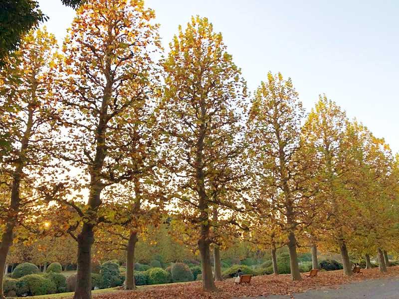 新宿御苑 プラタナスの紅葉の写真
