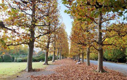 新宿御苑 秋 プラタナス並木の紅葉の画像