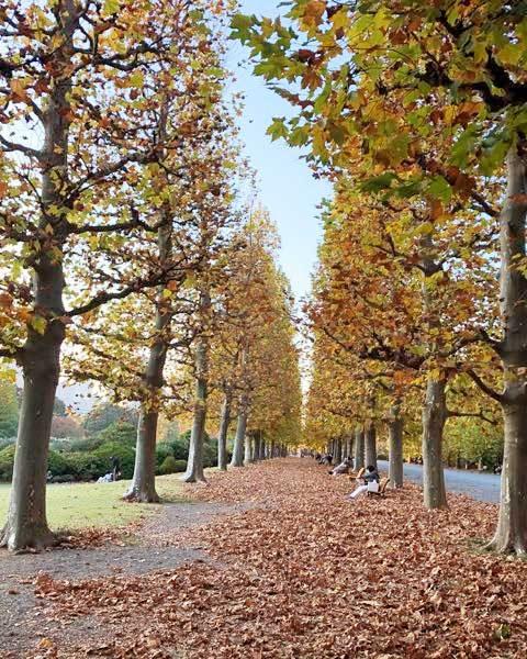新宿御苑のプラタナス並木の紅葉