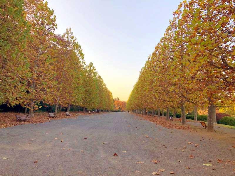 新宿御苑 秋 プラタナス並木の画像