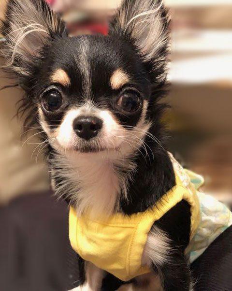 チワワのチクワちゃんの写真|フリフリのワンピースを着せてみました