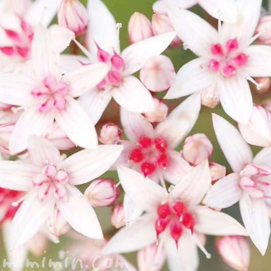 金のなる木の花の写真&花言葉の画像