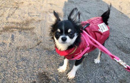 チワワのチクワちゃん、防寒着を着てお散歩の写真