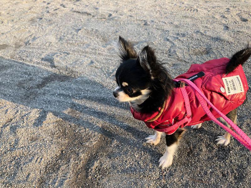 チワワのチクワちゃん、赤い防寒着を着てお散歩の画像
