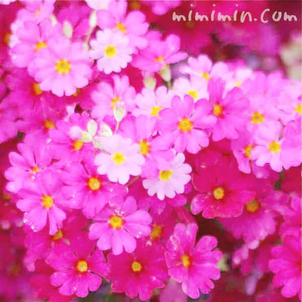 西洋桜草 プリムラマラコイデスの写真